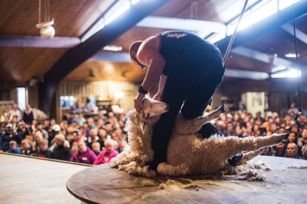 Sheep shearing demonstration at Agrodome